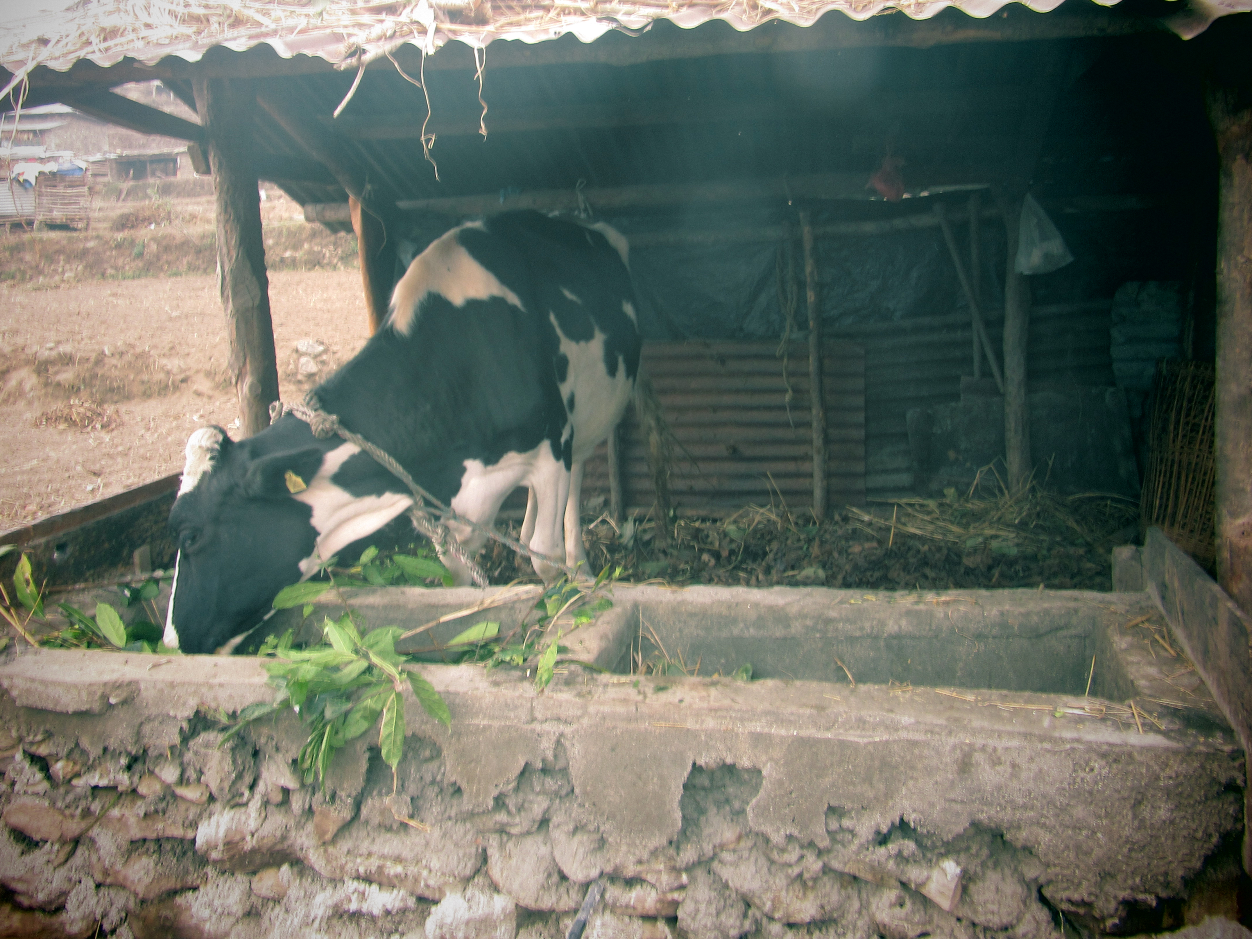 Cow Support Program